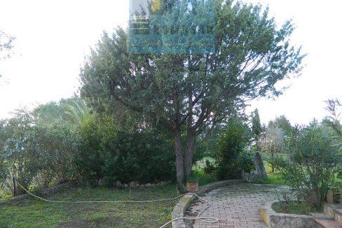 juniper of sardinia
